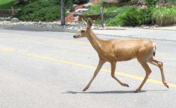 deer-safety-tips-for-avoiding-collision-post